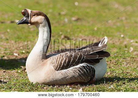 Swan Goose. Anser Cignoides. Chinese Goose.