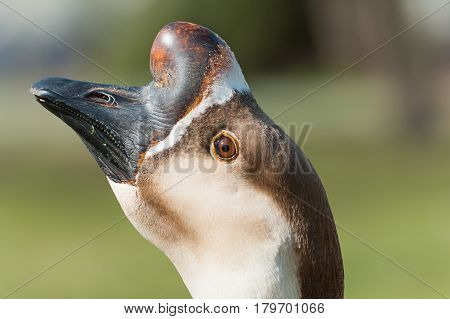 Portrait Of Swan Goose. Anser Cignoides. Chinese Goose.