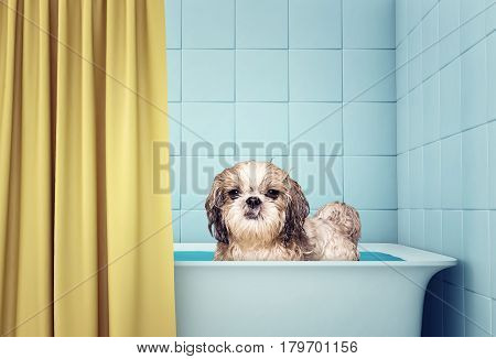 cute wet shitzu dog in the bath -- grooming