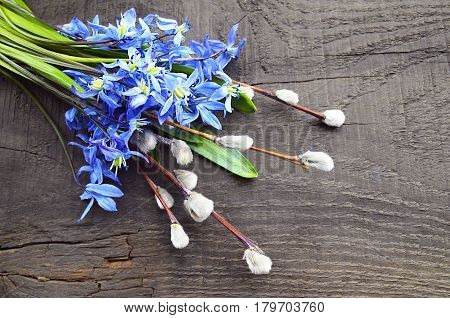 Blue first spring flowers and pussy willow branches on old wooden rustic table.Bouquet of Blue Scilla flowers on old wooden background.Spring flowers or Spring concept.Selective focus.