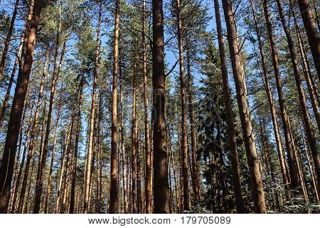 Pine trunks on blue sky background in spring forest sunny day