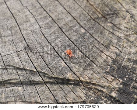 Red Velvet Tick On The Stump. Close Up Macro Red Velvet Mite Or