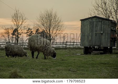 Sheeps on farm in village during sundown. Grazer sheep on green grass before wooden penthhouse in corral from wooden fence. Silhouette of trees.