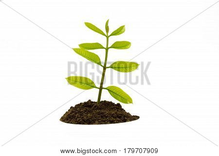 isolated young tree sapling in soil against white