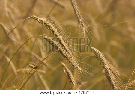 Wheat Ripe And Golden