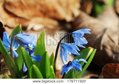Siberian squill , Scilla siberica blooming in March after fall leaves