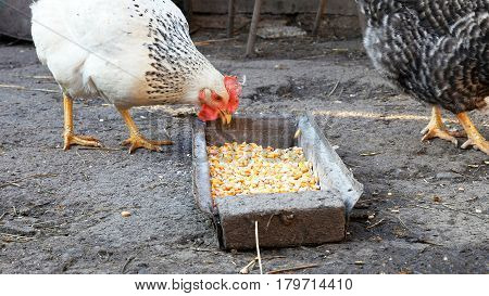 Free range chickens hens pecking and eating corn and food in a farmyard. Closeup shot of country rural scene.