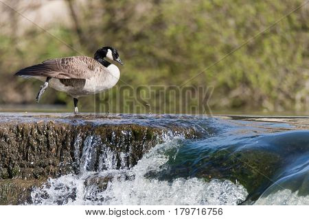 Canada goose (Branta canadensis) standing on waterfall. Large black and white bird in the family Anatidae resting atop of water flowing over weir on River Avon UK