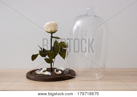 Beautiful rose under glass bulb on table in room