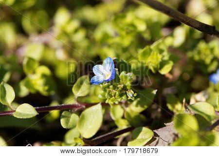 Flower of a winter speedwell (Veronica persica)