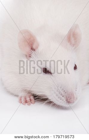 a close-up vertical shot of albino lab rat
