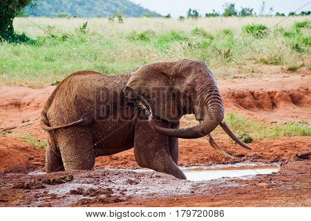African elephant pours mud from the puddle