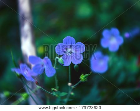 little blue flowers of flax, Linum perenne.