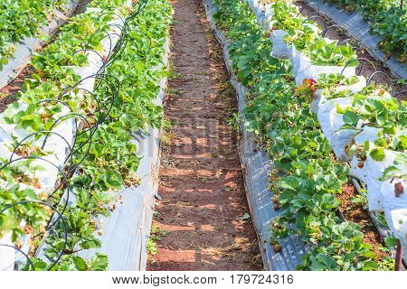 Agriculture farm of strawberry field 2 .