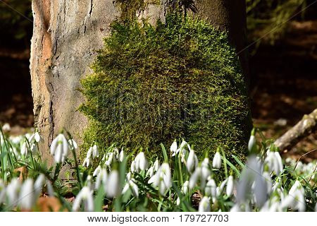 Amazing blooming snowdrops in tree trunk. Snowdrops