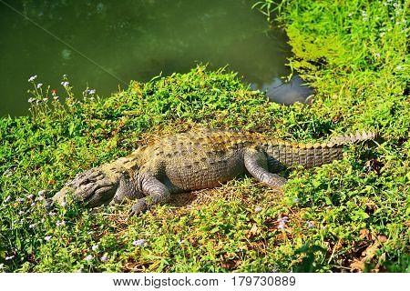 Crocodile on a river bank. Chitwan National Park. Nepal
