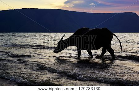 silhouette ox cow walking on the sea shore beach washing its feet with ocean water at sunset.