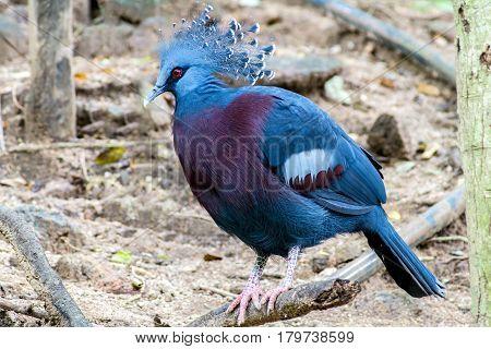 Blue Bird Exotic Bird Goura Victoria in the forest
