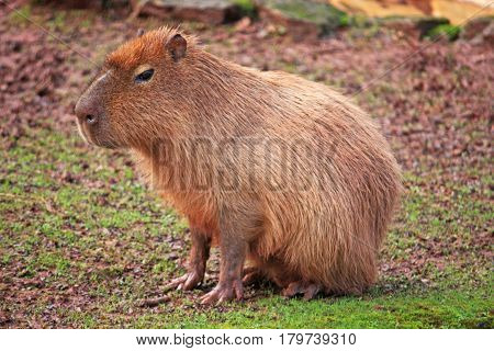Capybara rodent sitting in a grassy field