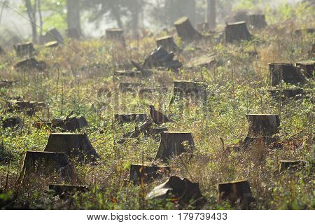 Tree stumps in a clearcut forest field with wild pheasant in East Devon England