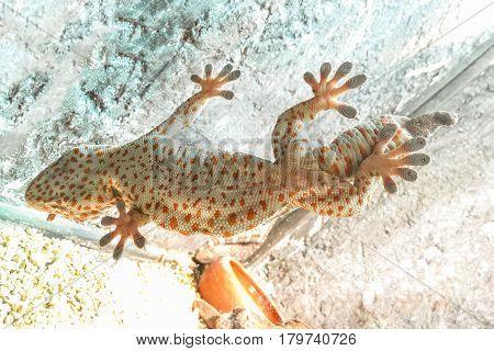 Bottom view of Gecko lizard on glass.