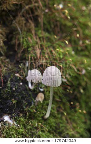 Mushrooms (Coprinus disseminatus) on a stump in a green moss