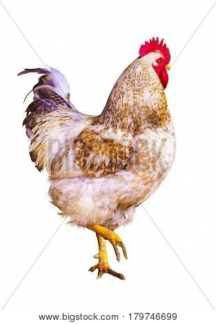 Rooster and chickens. farm. a family. beautiful male rooster isolated on white background. farm. Domestic bird