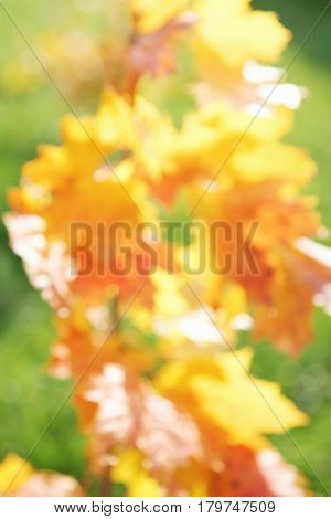 blurred background of yellow autumn leaves abstract