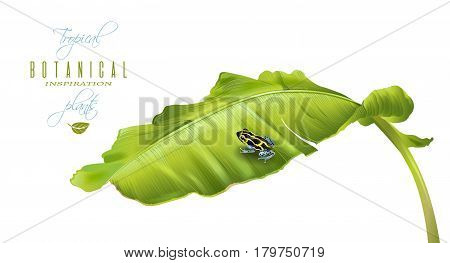 Vector tropical illustration with banana leaf and little Ranitomeya frog on isolatede white background. Exotic design for cosmetics, spa, perfume, fashion. Can be used as hawaiian design element