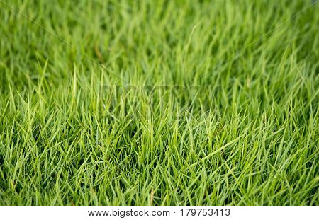 Closed up of green grass field background