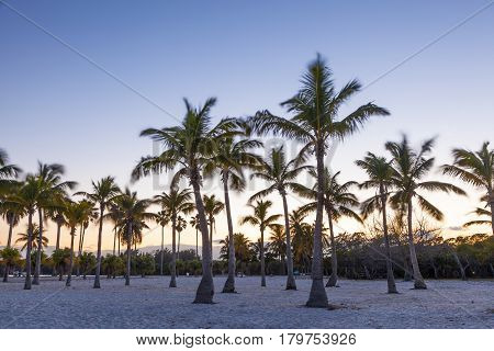 Coconut palm trees at the beach in Miami. Florida United States