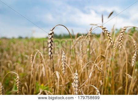 Summer. Ripe spikelets of wheat against the background of clouds. Horizontal frame.