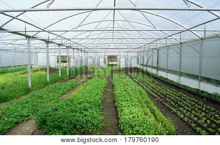 Young vegetable growing in glasshouse at beginning of spring on a farm in Devon England