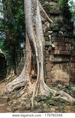 ruins of the temple Ta Prohm with giant banyan tree