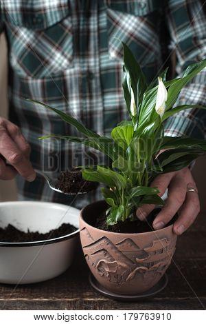 Man put spathiphyllum flower in the pot vertical
