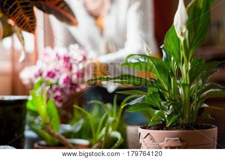 Spathiphyllum in the greenhouse on the blurred background