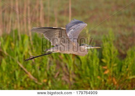 Great blue heron in flight against wetlands.
