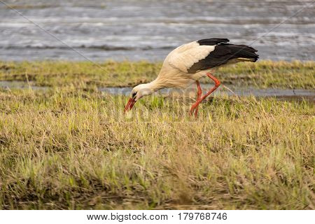 White stork hunting in grass near riverside