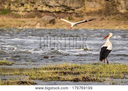 White stork expecting pair flying to him