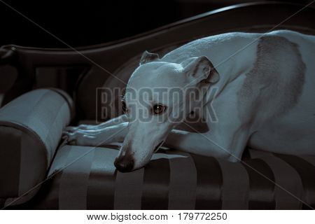 White whippet dog lies on the white sofa on gray background
