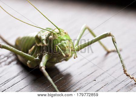 a close-up shot of green grasshopper on dark background