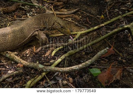 Monitor Lizard With Protruding Tongue.