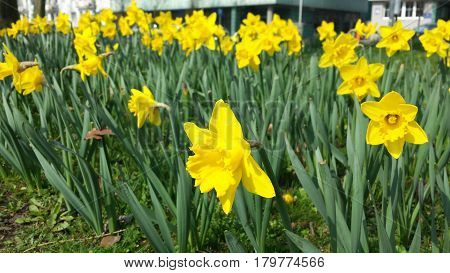 Spring flowers - developed daffodils in the urban park