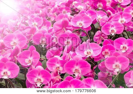 Pink orchid flowers with sunrise and flare