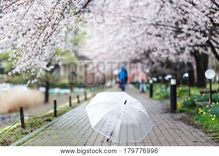 Selected focus on transparent umbrella on Cherry Blossom Path at Lake Kawaguchi Japan