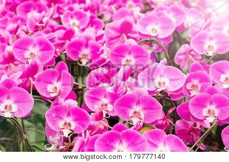 Pink orchid flowers sunrise with lens flare