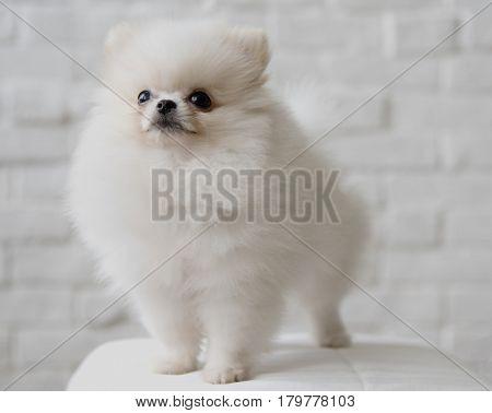 Pet Dog Breed Animal Portrait Puppy Mammal