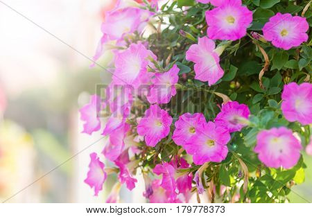 Pink flowers at sunrise with sun flare