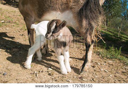 Portrait of baby dwarf goat in the rural farm
