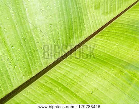 Thebeautiful Texture background of fresh green Leaf.